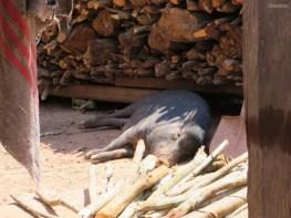 Wieder soo viele Schweine!