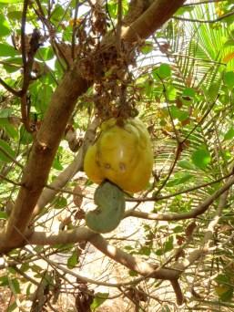 Cashewnuss mit Frucht