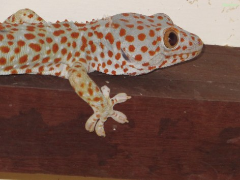 Riesengecko
