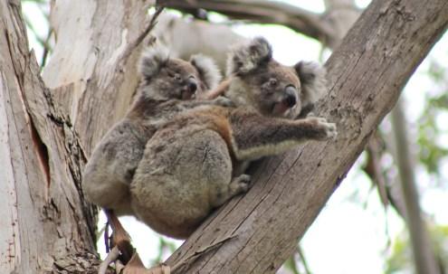 Koala Babys bis der Arzt kommt :)