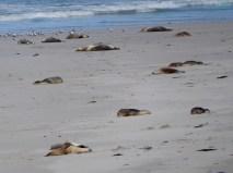 Da liegen sie alle und erholen sich von ihren 3 tägigen Futterausflügen in denn sie mehrer 100km zurücklegen.