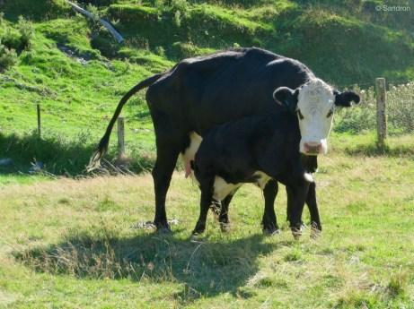 aufgeregte Kuh