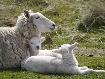 """Schafe auf dem """"Ellenbogen"""""""