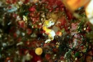 Auch die winzigen (ca. 1 cm groß) Pygmy Seepferchen kann man hier finden (Foto: Jobel).