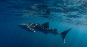 Schnorcheln mit dem Walhai vor Nord-Sulawesi