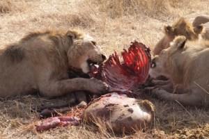 Frühstück für die Löwen