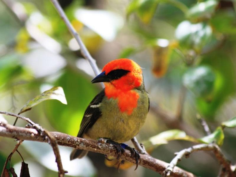 Endangered: Mauritius Fody