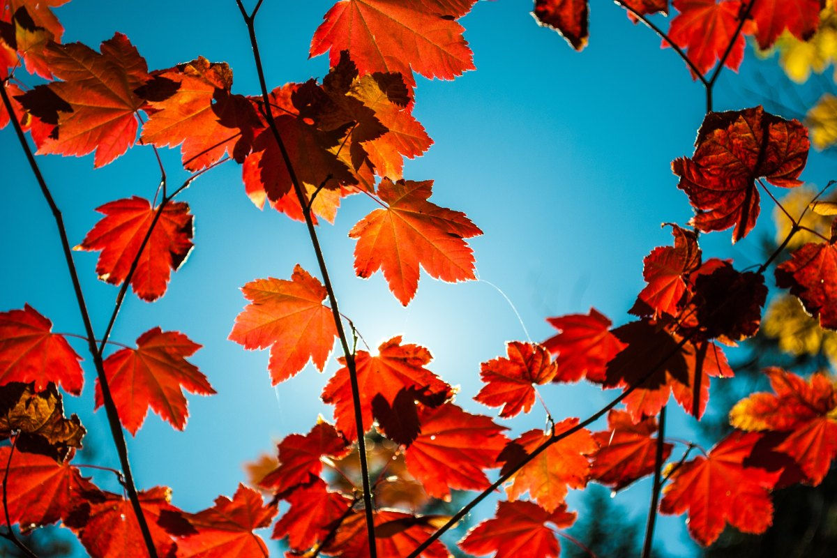 Different Ways to Use Maple Trees to Enhance your Home