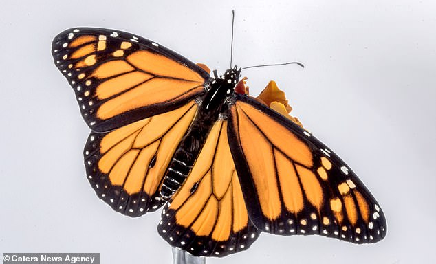 Monarch Butterfly Eye Makeup Stunning Timelapse Footage Shows A Huge Monarch Butterfly Breaking