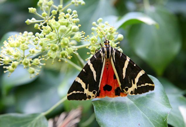 Jersey Tiger Moth by Trek Earth