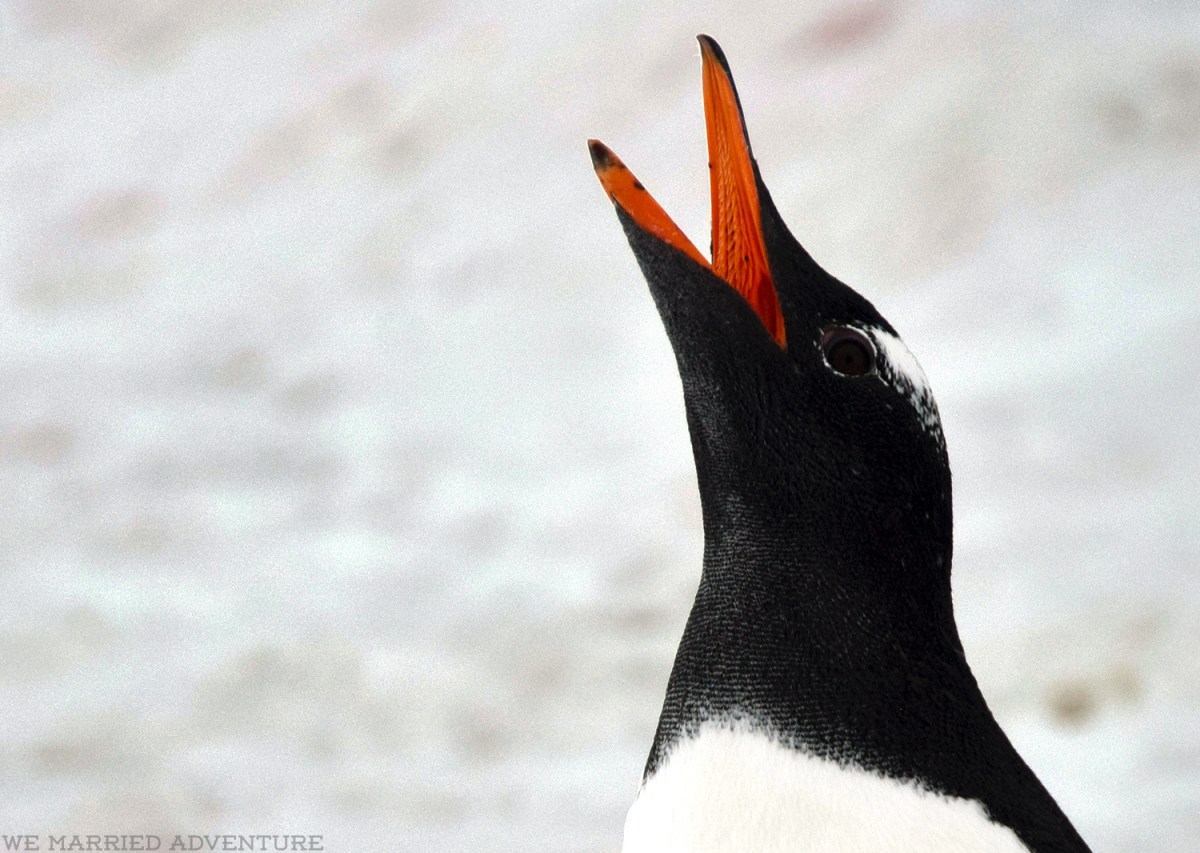 penguin16_close_wm