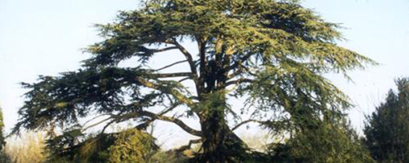 歌斐木是什么樹 - 花百科