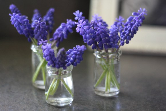 3-jars-grape-hyacinth-on-counter