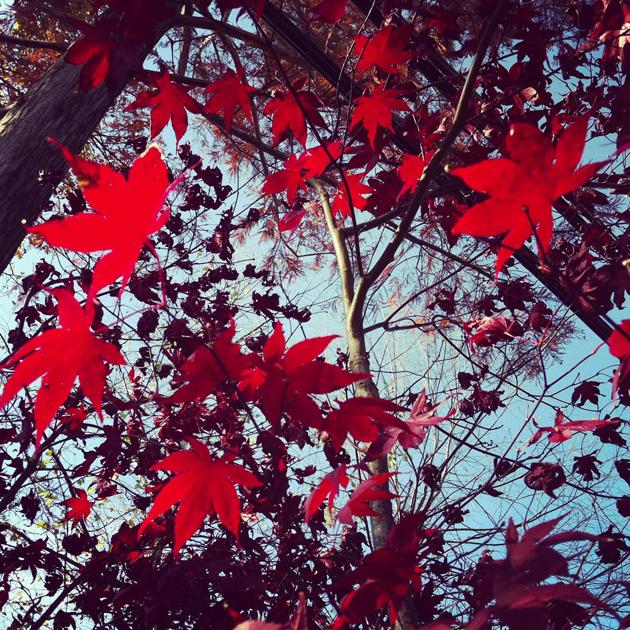 Japanese-maple-leaves