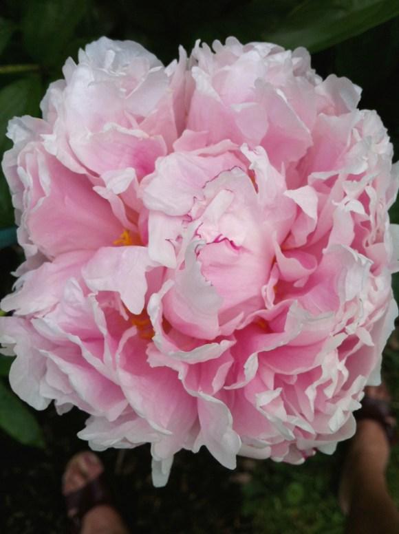 Peony flower bouquet