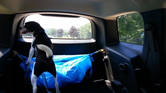 photo of owney in back of chevy hhr