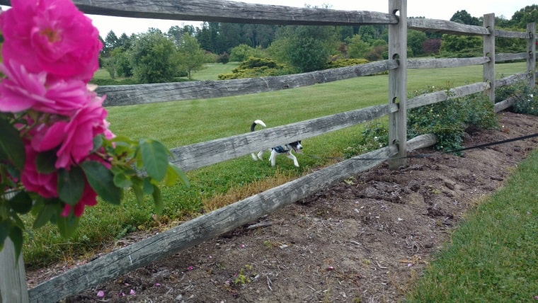 Owney through the fence2