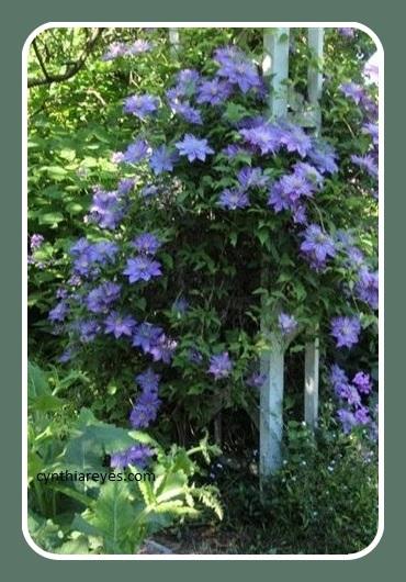 Photo Garden Double clematis in full bloom