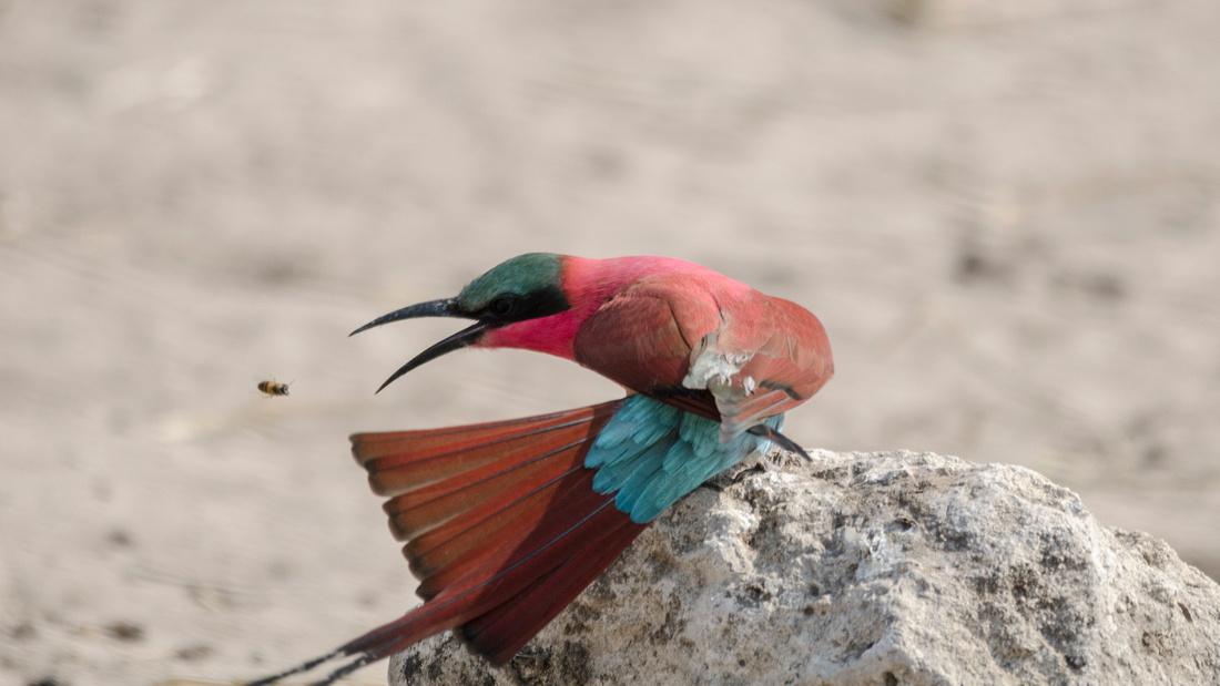 Wendy Ng Photography: Botswana &emdash; Eating Bee