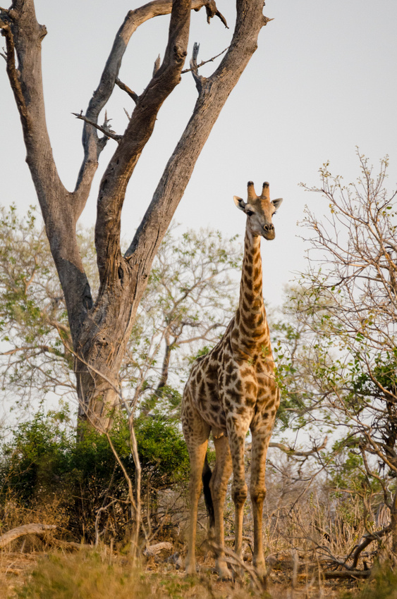 Wendy Ng Photography: Botswana &emdash; The Giraffe Glow