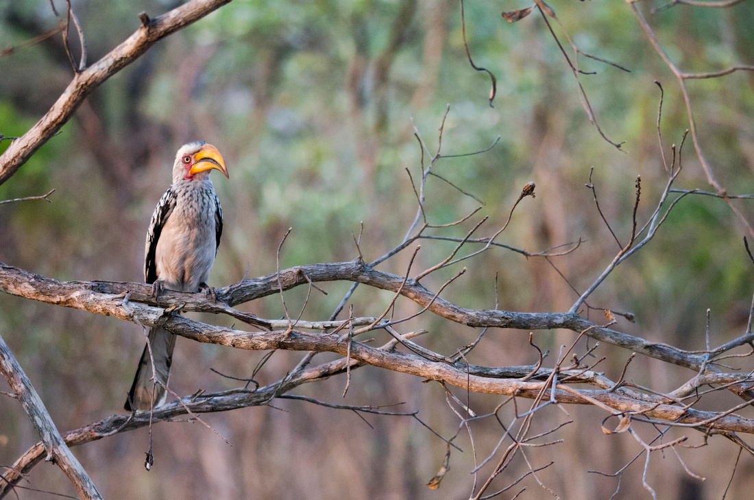 Wendy Ng Photography: South Africa &emdash; Yellow-Billed Hornbill
