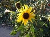 sunflowersingle
