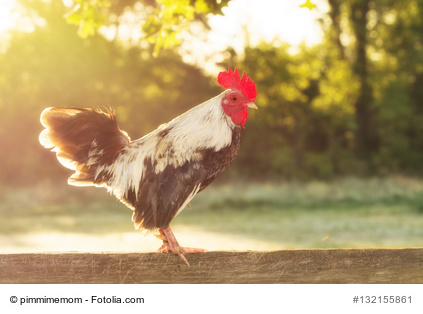 Rooster back lit by rising sun in the morning, with a softening filter