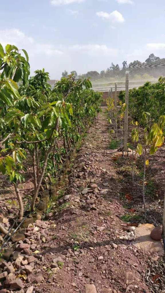 Cherry trees and avocado saplings