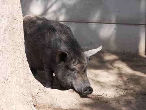 Das kleine rosa Schwein war zu schnell für die Kamera.