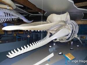De walviszaal in Ecomare