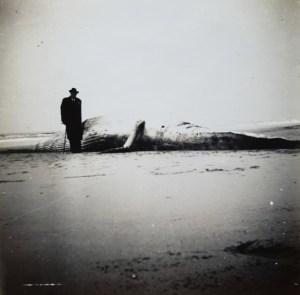 Anton Boudewijn van Deinse, bekend cetoloog, bij gestrande gewone vinvis op het strand bij Wijk aan Zee. Foto genomen door Pauline Beiboer op 17 november 1956.