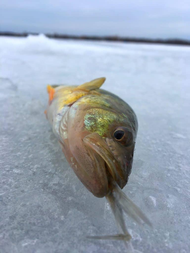 Jumbo perch on the ice
