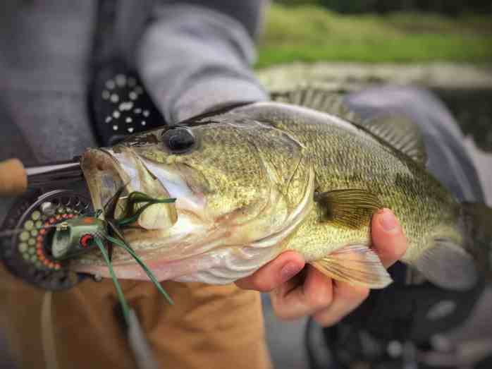 Grand River largemouth bass with a fly in its mouth