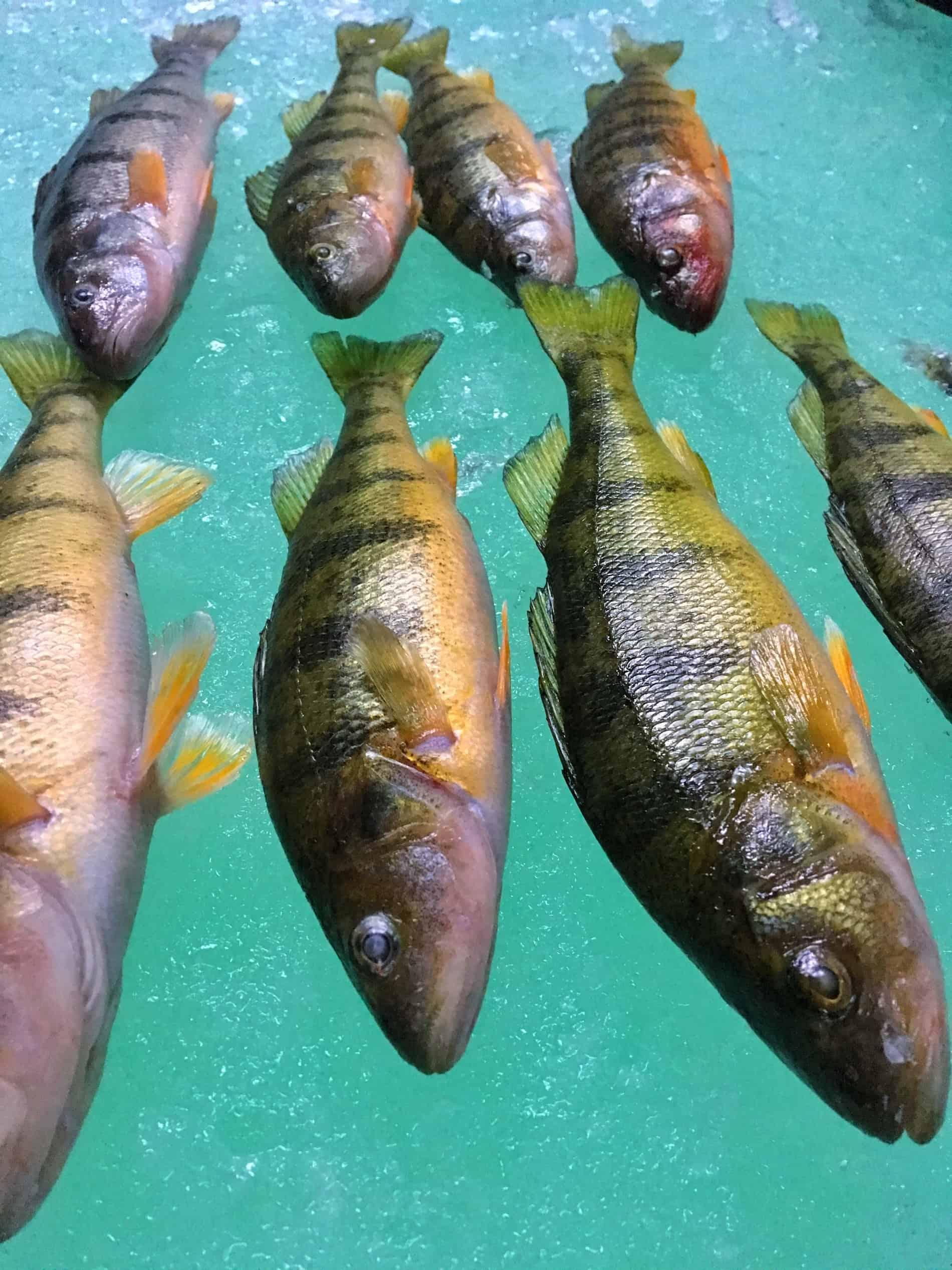 Jumbo perch with yellow bellies
