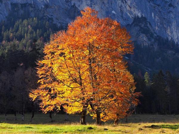 Pächtiger Ahorn Baum