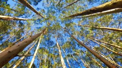 Eukalyptus Bäume