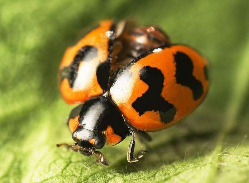 ladybug wiki
