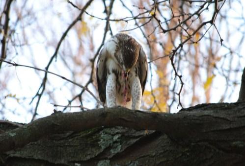 hawk eats squirrel