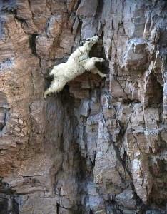 wesclimb goat