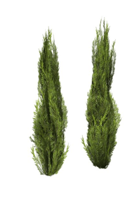 Juniper Trees for Landscaping