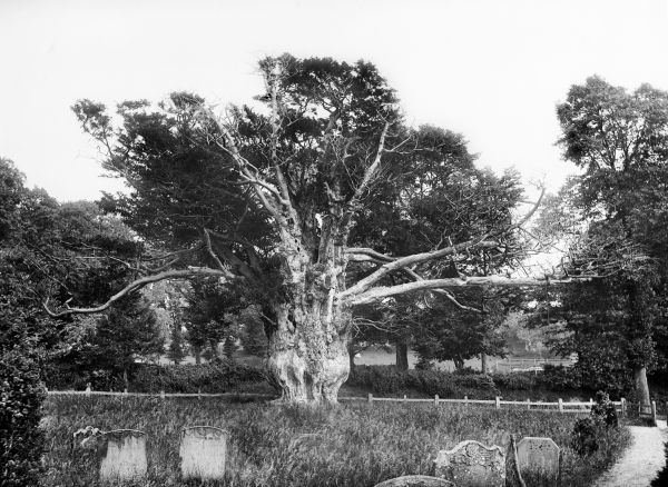ALDWORTH, Berkshire. The old yew tree in the churchyard, which is at least 1,000 years old. It was uprooted by a storm in 1976. A part of the old root still survives and had produced new growth. Photographed in 1895 by Henry Taunt.