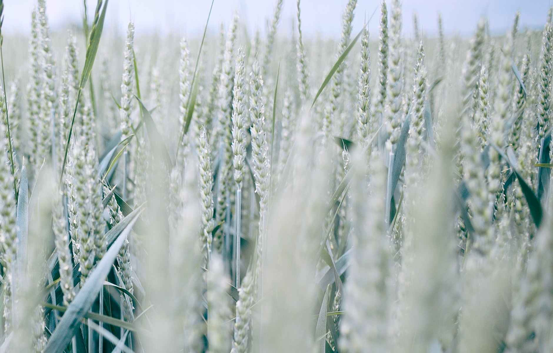 wheat spikes in countryside field in summer