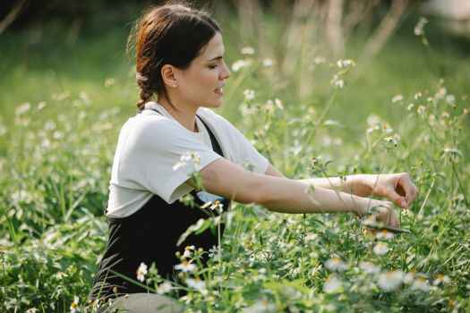 concentrated lady collecting chamomiles on field
