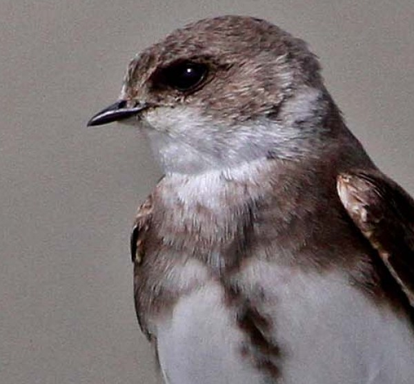 How to identify swifts, swallows and martins