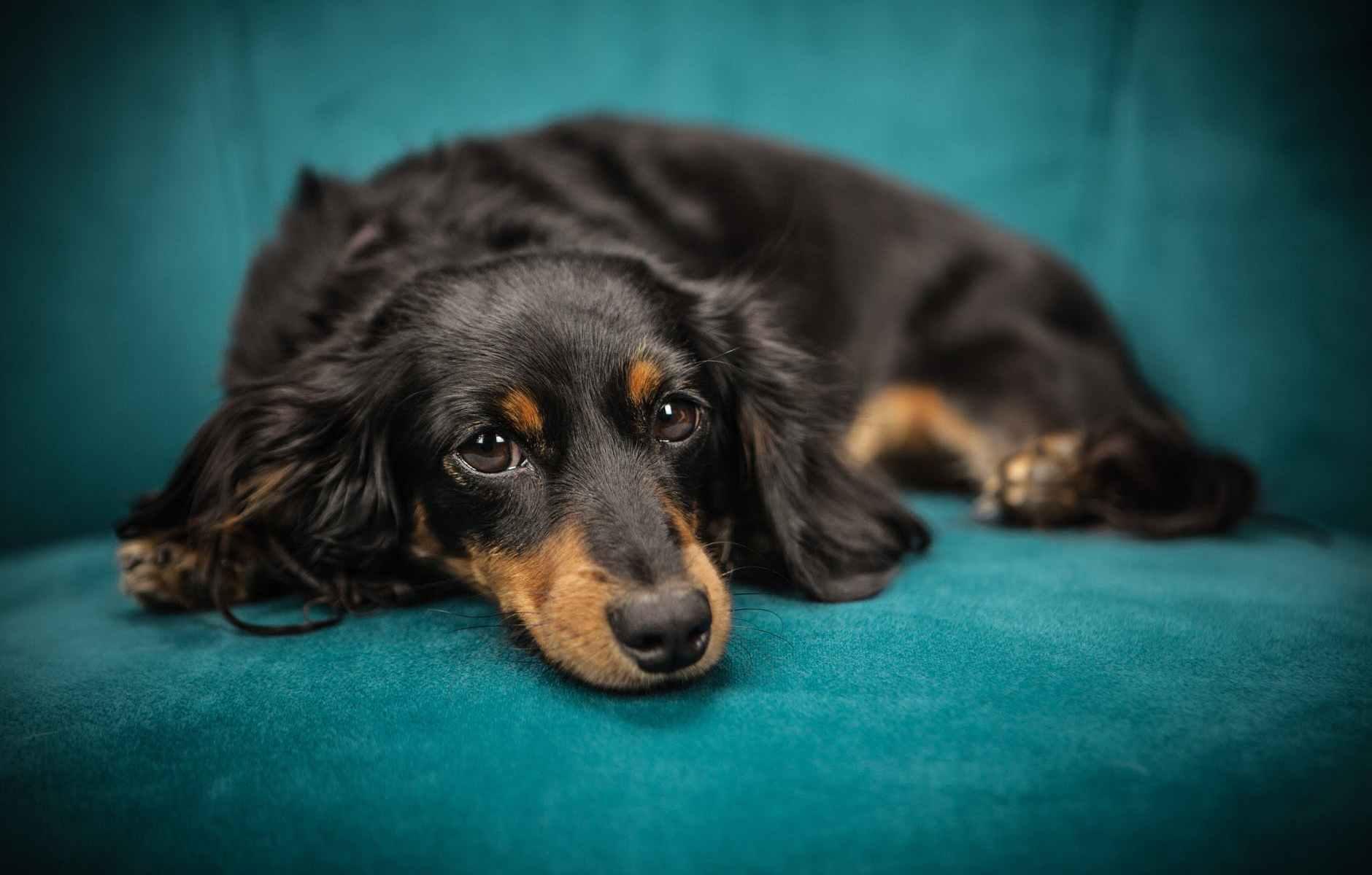 black and tan long coat dog
