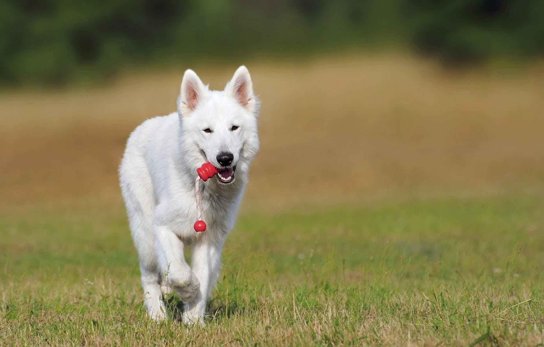 white dog running over green grass