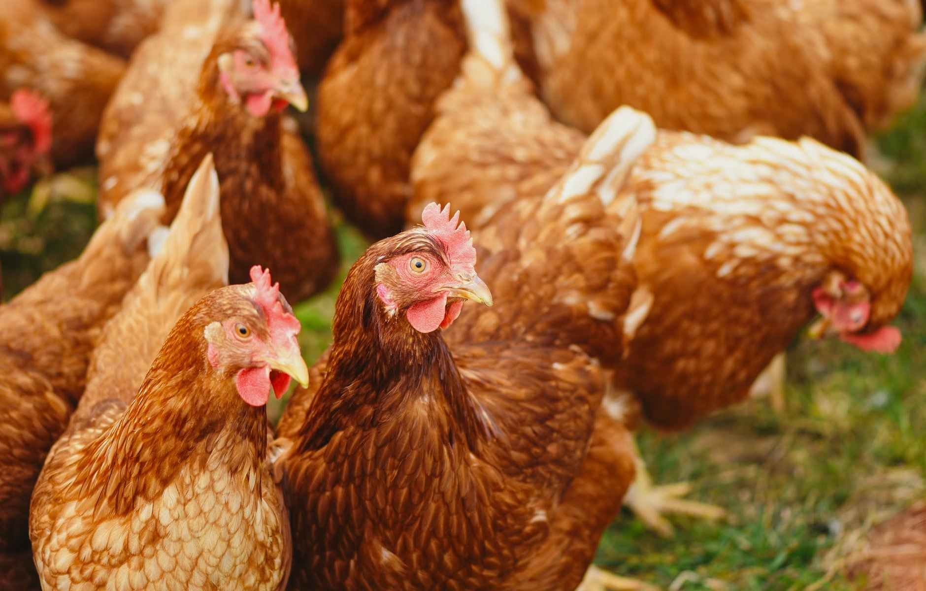 flock of hens on green field
