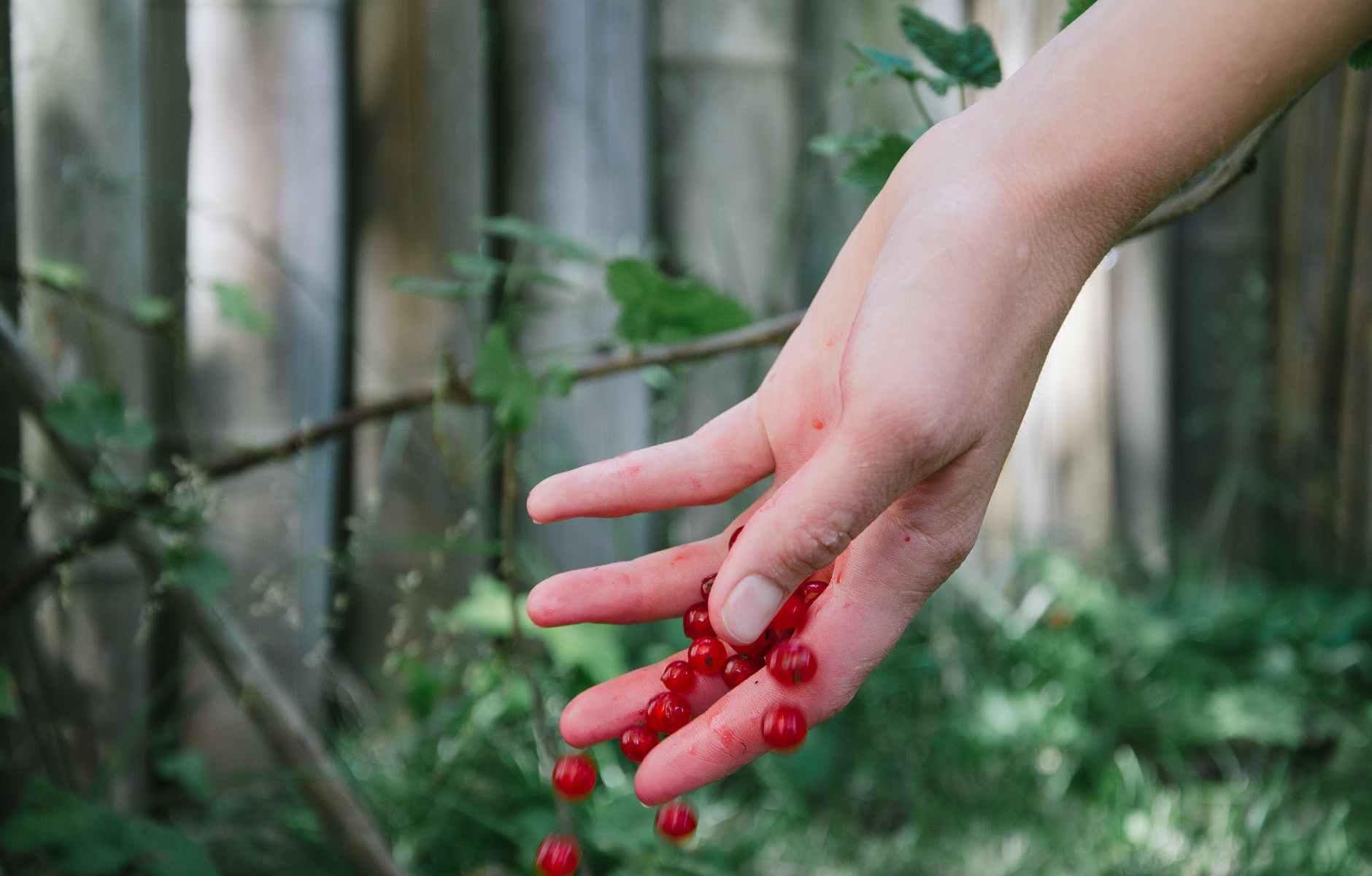 berries currants redcurrants