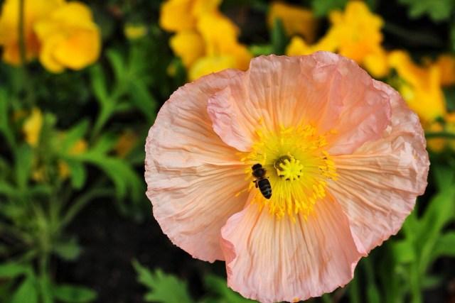 bee in flower, paris, france