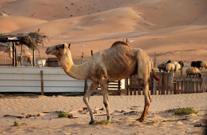UAECamel